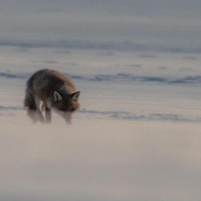 Retour de chasse nocturne (Renard roux)