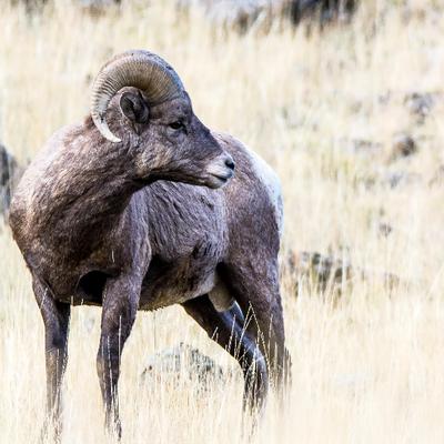 Attentif (Mouflon canadien)