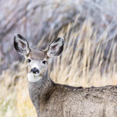 Curieux, l'oreille tendue  (Cerfs à queue noire)