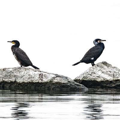Boudeurs (Grand cormoran)