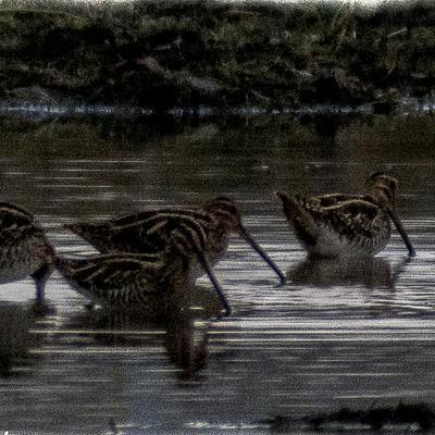 Le crépuscule des bécassines (Bécassine des marais)