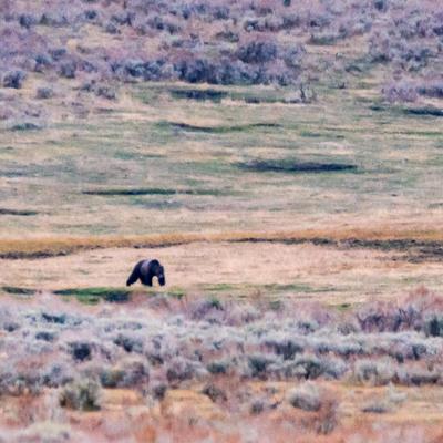 La traversée de l'ours (Grizzly)